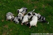 Les 6 chiots de GLYCINE, Border Collie non LOF
