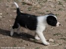 SHADOW des Tourelles - chiot type Border Collie