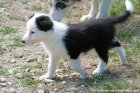 WENDY des Tourelles - chienne type Border Collie