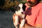 ORION des Tourelles - chiot Border Collie non LOF