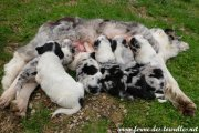 GLYCINE et ses chiots Border Collie non LOF