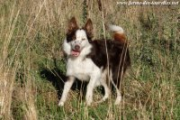 LIXIE - chienne type Border Collie pie chocolat & feu