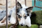 GLYCINE - chienne type Border Collie des Tourelles