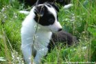 MADDY des Tourelles - chienne type Border Collie