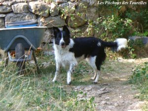 LEA - chienne Border Collie