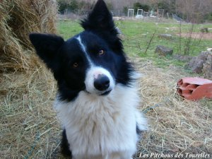 FOREST- chiot Border Collie