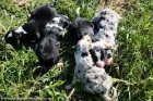 Chiots type Border Collie des Tourelles