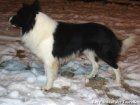 FOREST - chien Border Collie