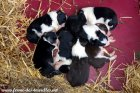 Chiots type Border Collie de LIXIE du 20/04/18