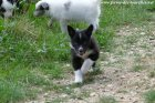 MAGIC des Tourelles - chiot type Border Collie