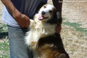 DOLLY - chienne Border Collie