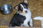 LEXIE des Tourelles - chienne type Border Collie