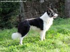 FOREST des Tourelles - chien type Border Collie